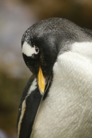 eselspinguin zoo basel
